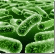 bacillus_cereus