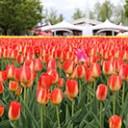 tonami-tulip2014