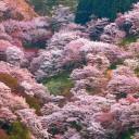 yoshinoyamazenbonsakura