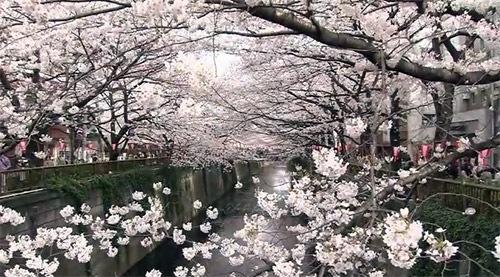 目黒川沿いの桜の様子