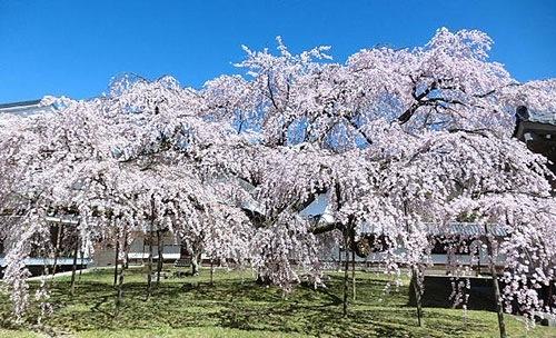 醍醐寺へ花見見物