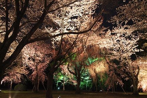 しだれ桜ライトアップ3