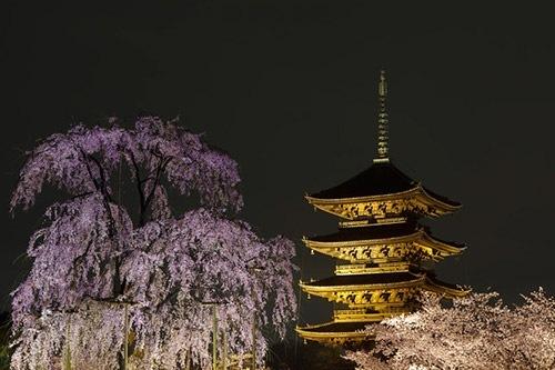 しだれ桜ライトアップ5