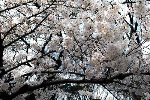 桜の木の下に場所取り