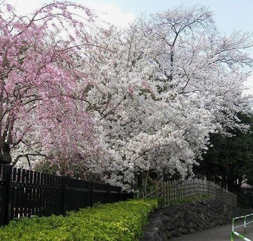 飛鳥山公園のお花見は混雑する?
