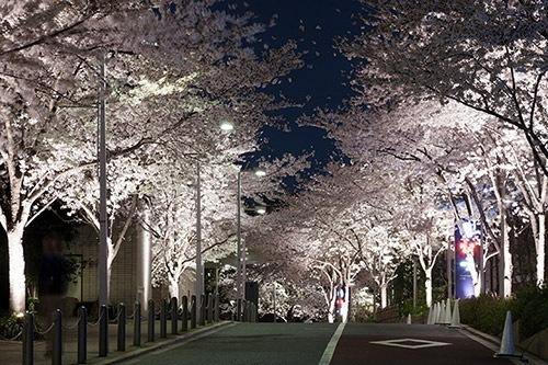 六本木ヒルズ 桜のライトアップ1