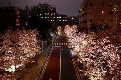 さくら坂 夜桜