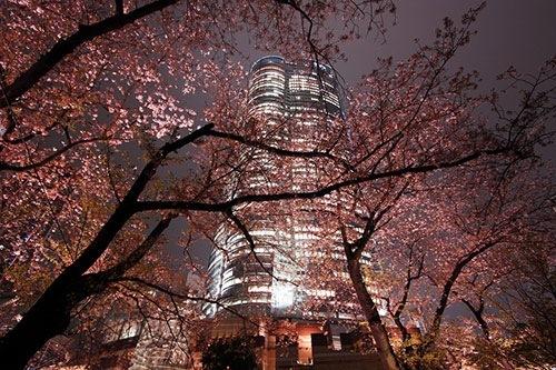 六本木ヒルズ 桜のライトアップ3