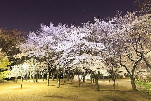 飛鳥山公園の夜桜
