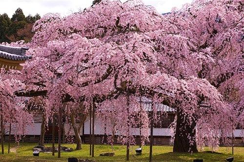 京都髄一のしだれ桜