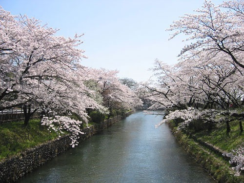 桜祭りと開花状況