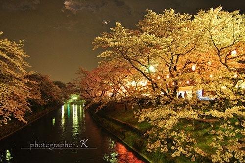 羽村の堰 夜桜