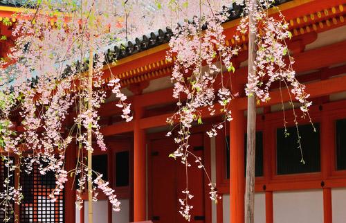 平安神宮 神苑 紅しだれ桜の見頃1