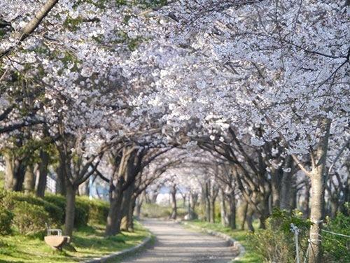 毛馬桜之宮公園のお花見情報