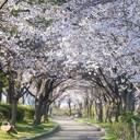 kemasakuranomiyakouen