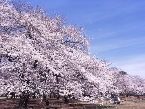 小金井公園で花見 場所取りは