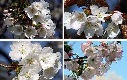 小金井公園の桜の種類