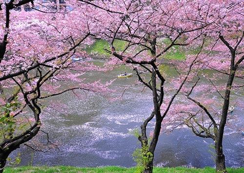 千鳥ケ淵公園 桜の見頃時期