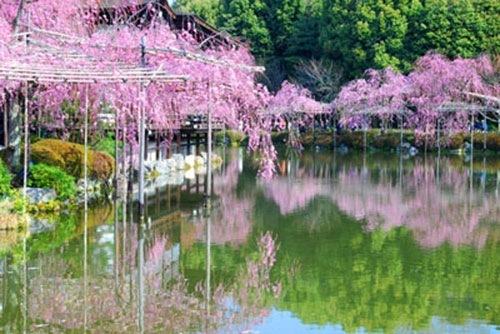平安神宮 神苑 紅しだれ桜の見頃2