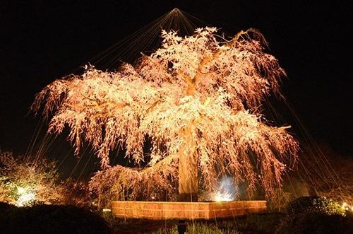 しだれ桜ライトアップ1