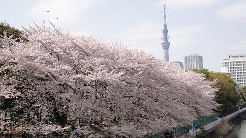 隅田公園の桜とスカイツリー