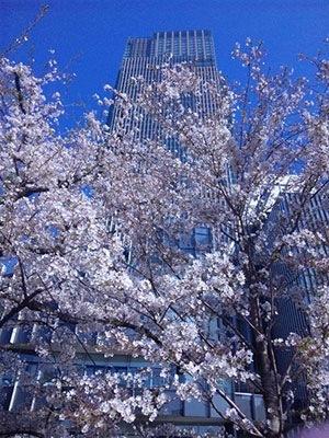 東京ミッドタウン 都会に彩る桜