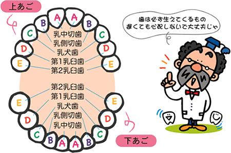 赤ちゃんの歯の一般的な順番