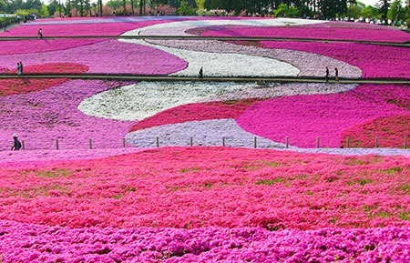 羊山公園の芝桜の見頃は?