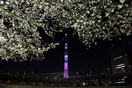 スカイツリー夜桜コラボ