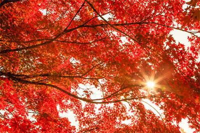 熱海梅園の「日本一遅い紅葉」の見頃時期