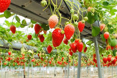 関東エリア周辺はイチゴ狩りで人気の高い農園が結構あるようなので楽しみ!