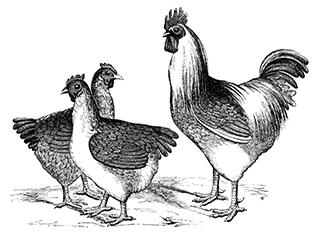 鶏の版画風イラスト