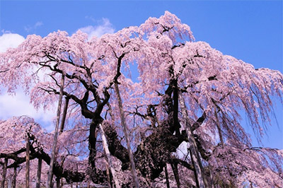三春滝桜(福島県田村郡三春町)