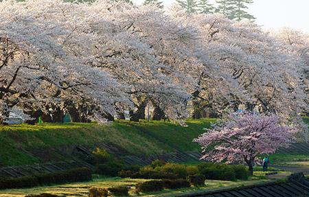 小京都の美しい桜!角館の桜の見頃と桜まつり2018の日程は?