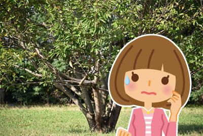 伊豆の春!河津桜2018年の開花予想は?見頃時期はいつ頃?