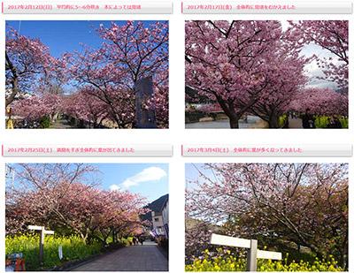 2月10日から3月10日まで、河津桜の開花状況