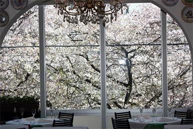 窓いっぱいに広がる桜