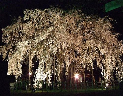 足羽山樹齢360年のしだれ夜桜