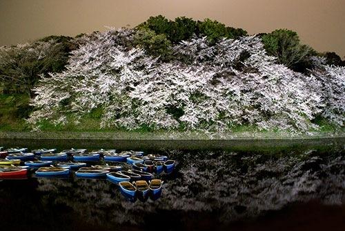 千鳥ケ淵公園 花見 ライトアップ写真1