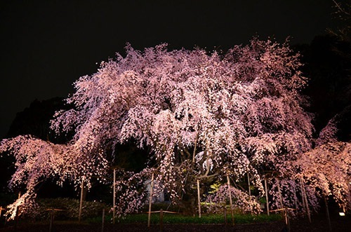 ライトアップされたしだれ桜の優美