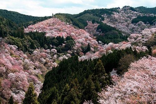 吉野山千本桜の見頃は…