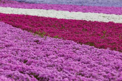 鮮やかな花の絨毯!関東の芝桜の2018見頃時期は?