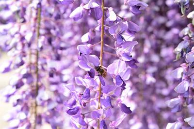 幻想的な紫のカーテンを見に行こう!