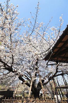 石戸蒲ザクラ(埼玉県北本市)