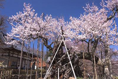 山高神代桜(山梨県北杜市)
