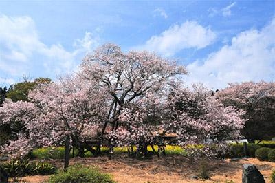 狩宿の下馬桜(静岡県富士宮市)