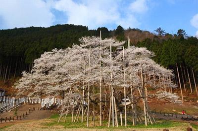 根尾谷の淡墨桜(岐阜県本巣市)