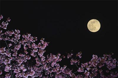 お花見がより楽しめる!河津桜まつりとは?