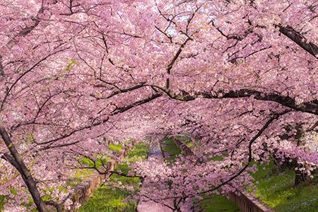 桜の開花時期がわかればお花見だ!