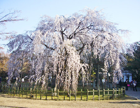 足羽神社のしだれ桜